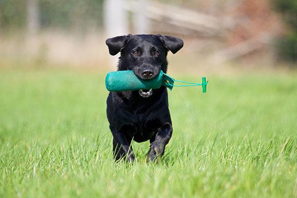 Labrador Retriever, mit Dummy